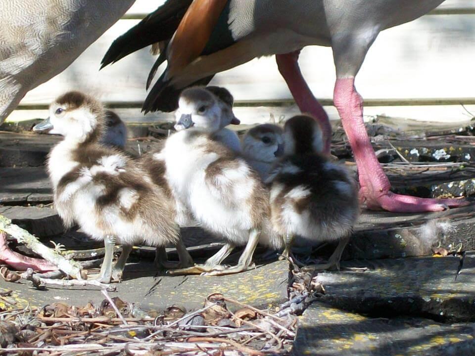 Geese at Enchanted Springs Ranch