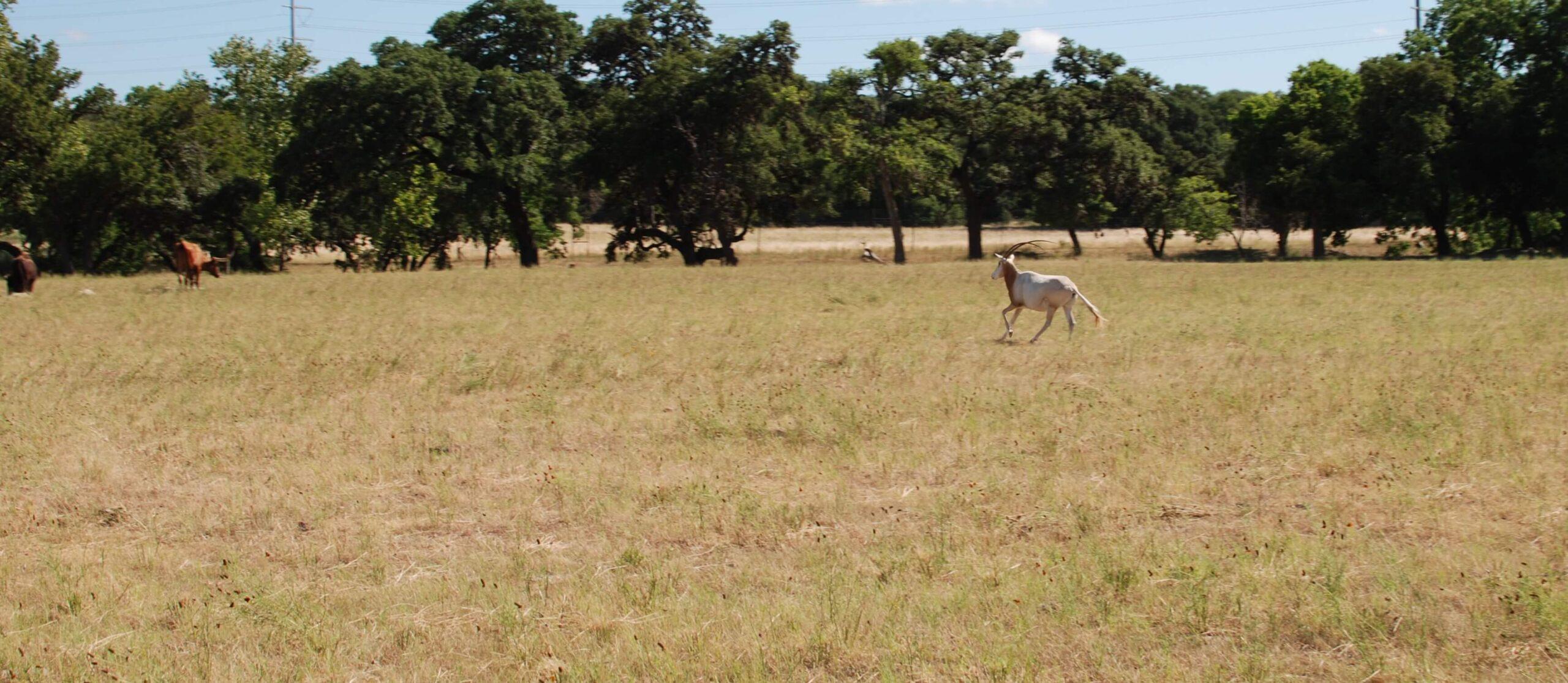 Oryx at Enchanted Springs Ranch