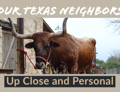 Host a Corporate Event with a Texas Longhorn!